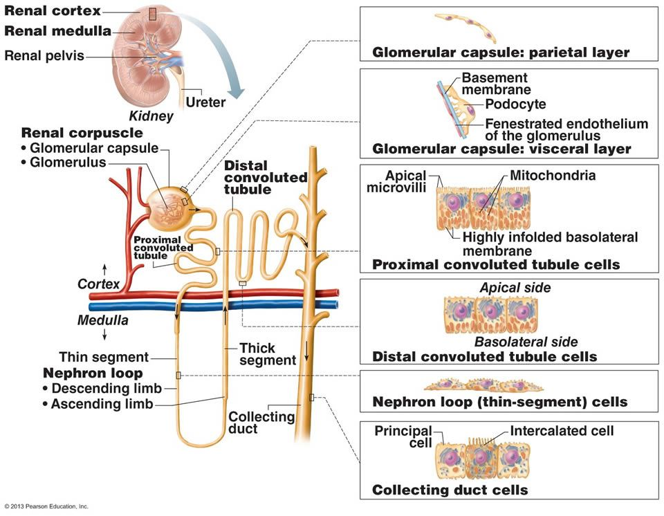 The Urinary System - nephron histology - diagram | Renal ...