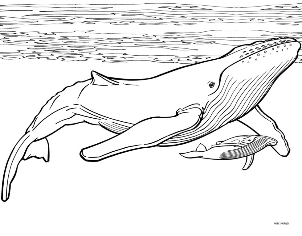 humpback whale in 2019 | Whale drawing, Whale coloring ...