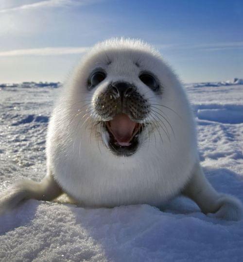 adorable harp seal