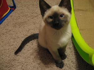 Adopt Radish On Petfinder Short Hair Cats Kitten Pets