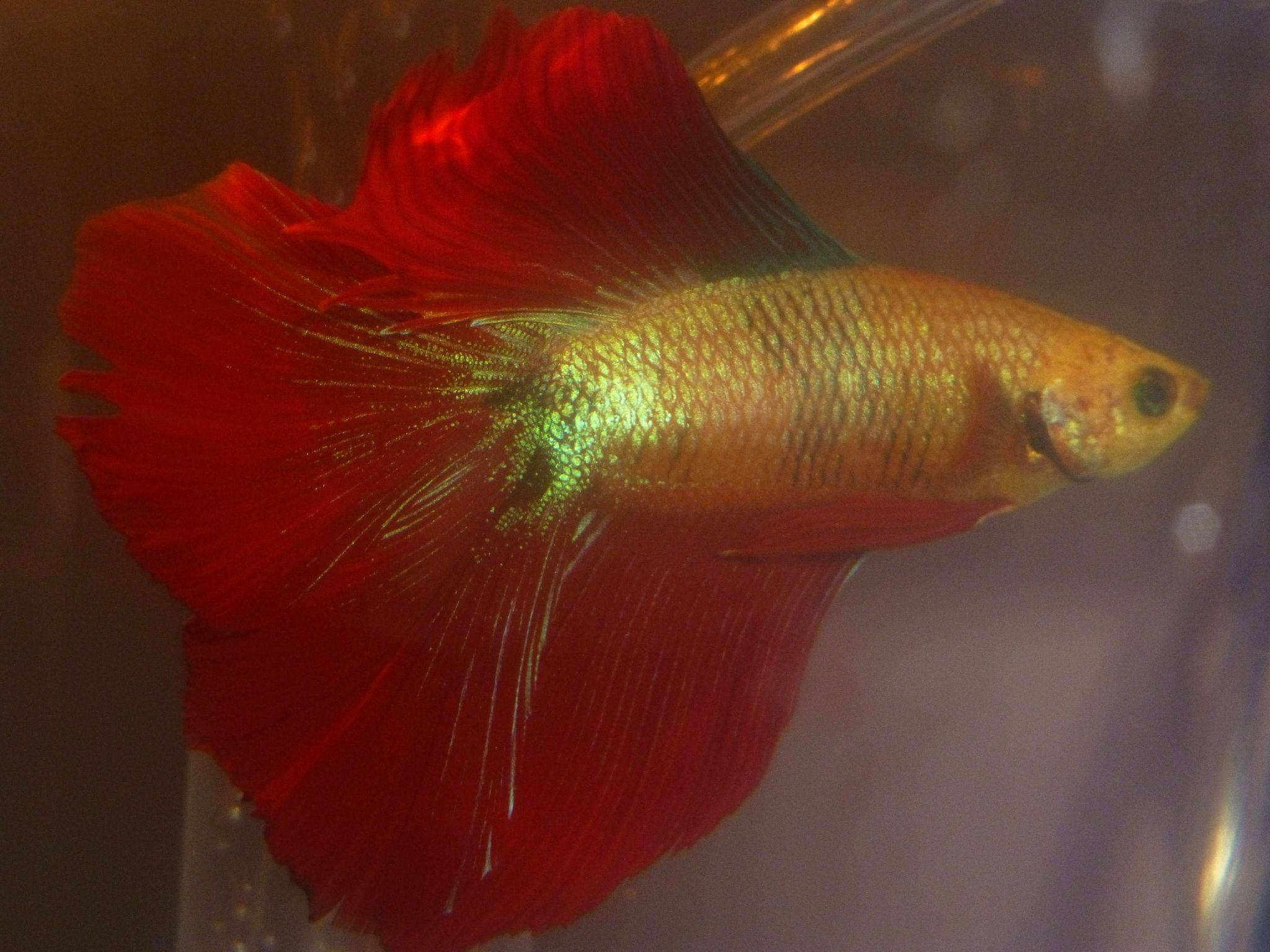This is my beautiful red and gold halfmoon betta, Sun King. You can ...