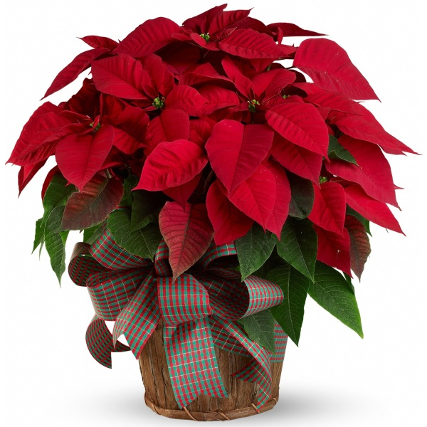 Poinsettia Plant Funeral Service The Sympathy Store Free Shipping Christmas Flower Arrangements Christmas Plants Poinsettia Plant