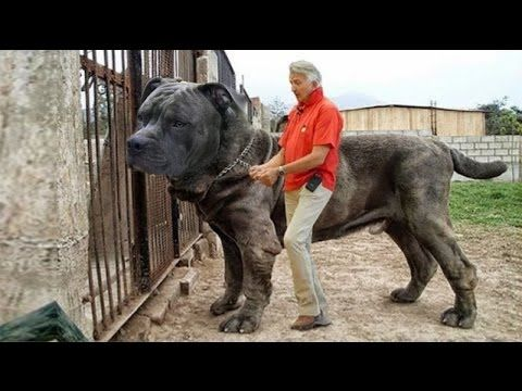 Strongest dog in the world