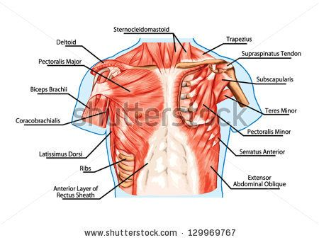 pectoralis major muscle, muscles of chest, thorax, brisket, breast ...