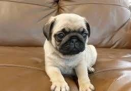 Spend Your Free Time With A Pug Female Puppy To Buy Puppies For Sale Pug Puppies Puppies For Sale Puppies