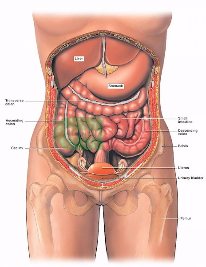 Picture Of Female Organs Of The Body Human Anatomy Pictures