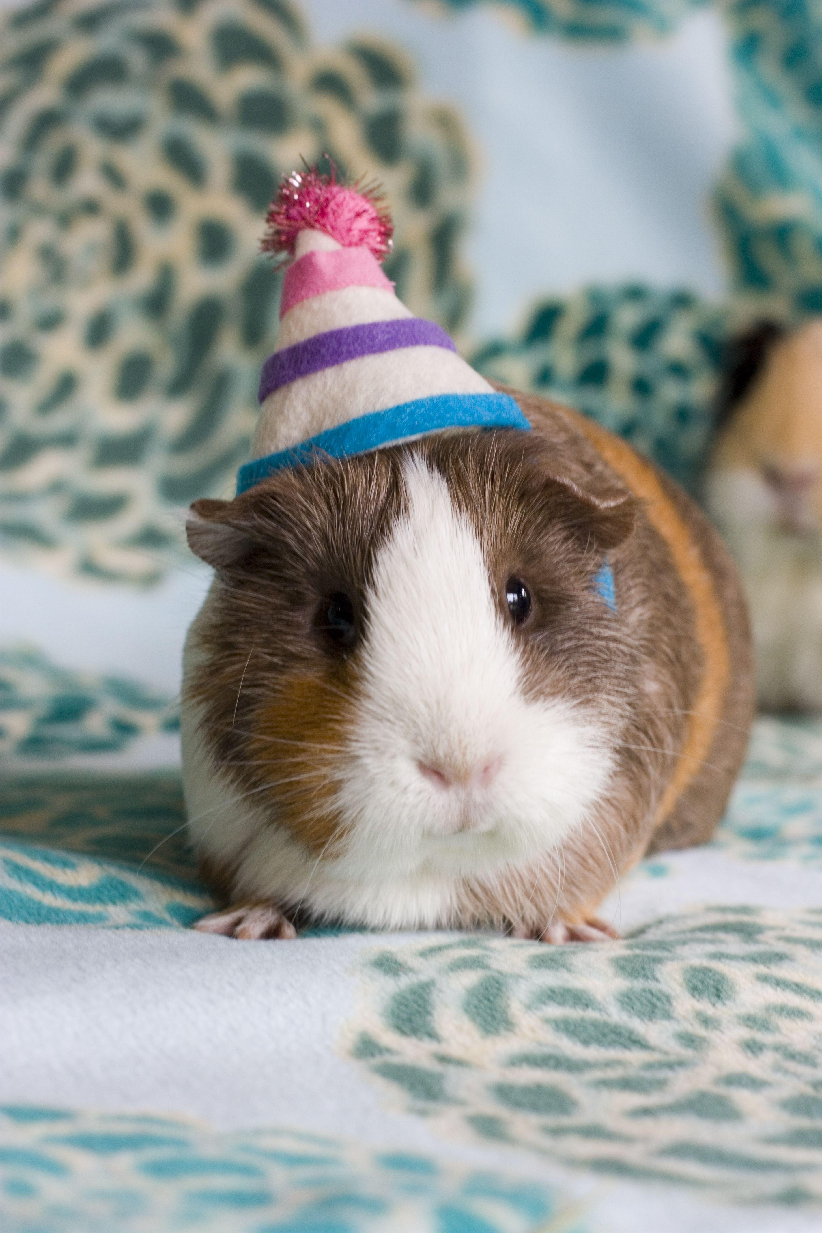 pig hat Guinea
