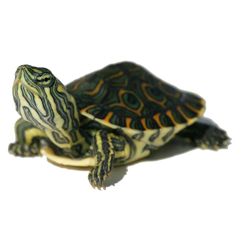 Aquatic Turtles For Sale Live Baby Turtles For Sale My Freshwater Turtle Store Aquatic Turtles Baby Turtles Slider Turtle