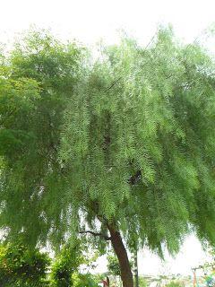 Flora Do Parque Arvores Pequenas Arvores Pequenas Para Jardim