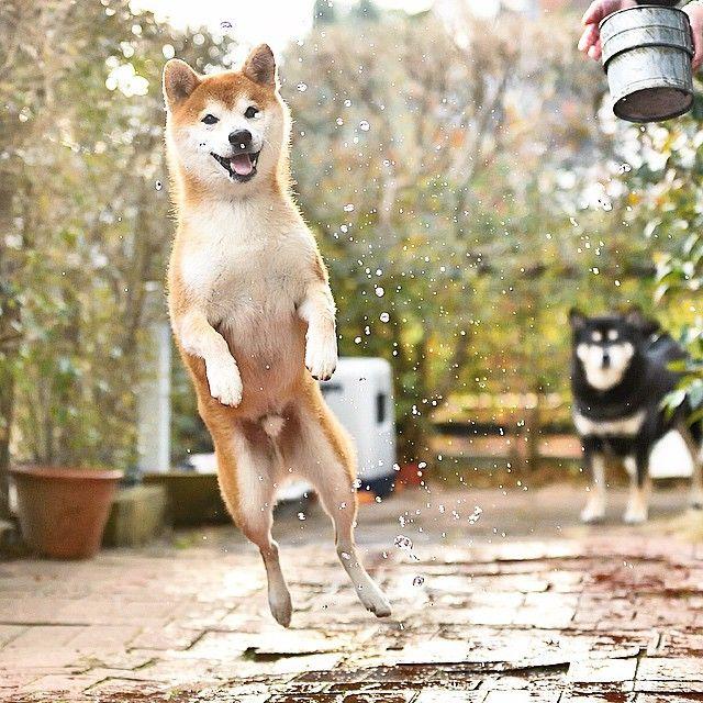 Resultado de imagen para shiba inu jumps