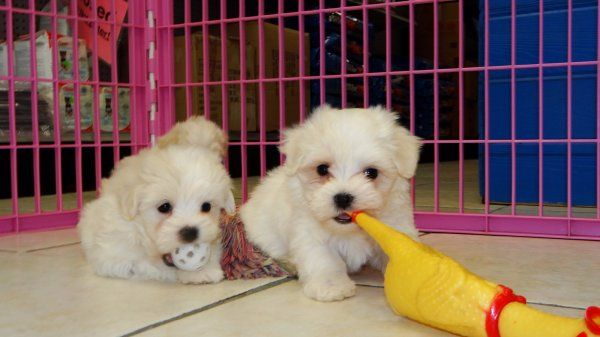 Maltese Puppies For Sale In Atlanta Georgia Ga Maltese Puppy