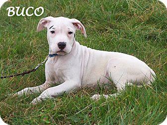 Milford Nj American Bulldog Boxer Mix Meet Buco A Puppy For