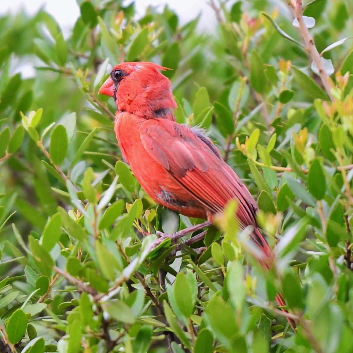 red cardinal in the backyard wildlife pinterest bird and