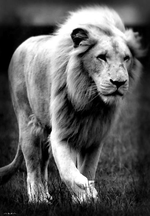 lion photo noir et blanc majestieux felins pinterest. Black Bedroom Furniture Sets. Home Design Ideas