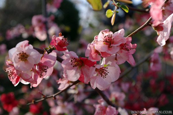 Plum Blossoms Or Cherry Blossoms Who Can Tell Sometimes It S Hard To Tell Especially If You Just See A Photo And Can T Japan Plum Blossom Travel Life
