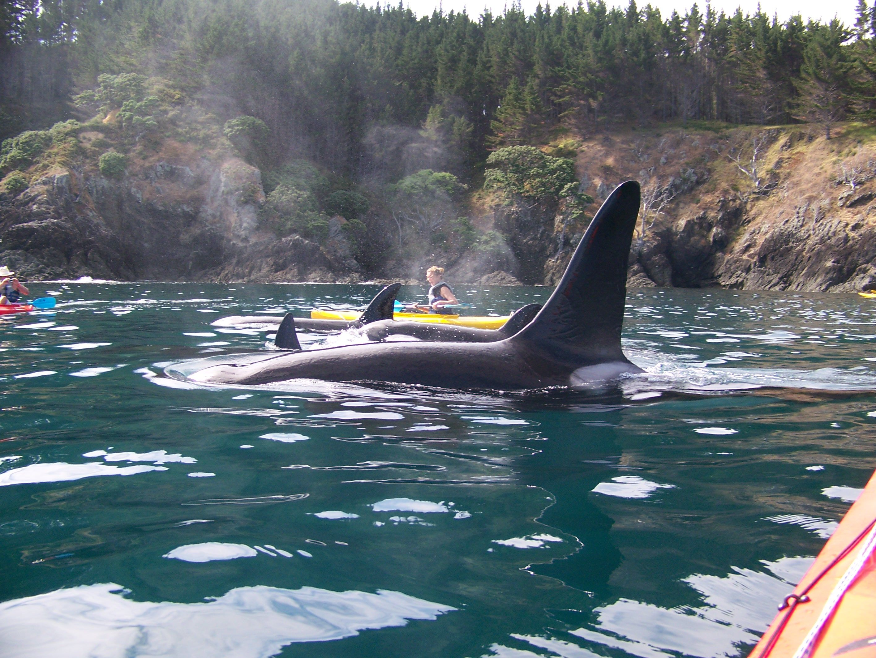 With Orca Great For Personal Development Perfectlifesecrets Kayaking Sea Kayaking Orca