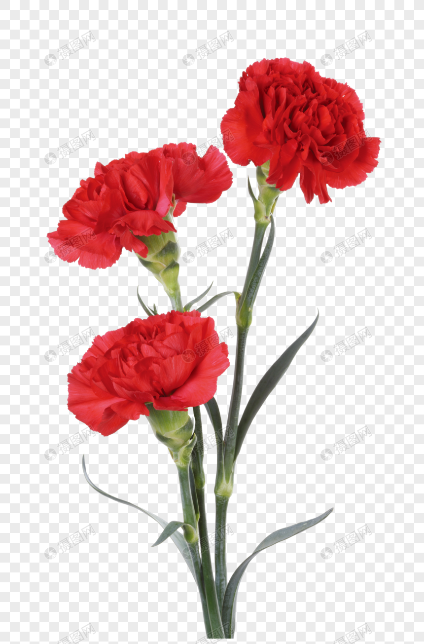 Red Carnation Red Carnations Carnations Flowers Red Flowers Mother S Day Flowers Safflower Red Carnation Carnations Red Flowers