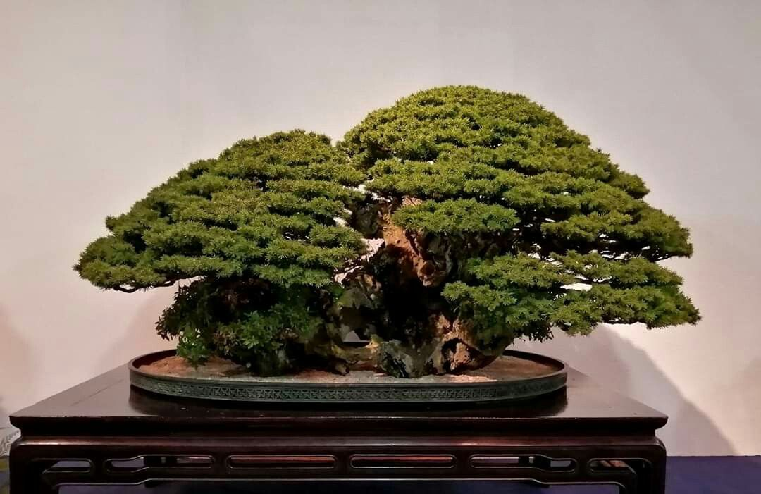 Pin By Theo On Amazing Bonsai In 2020 Bonsai Herbs Tree