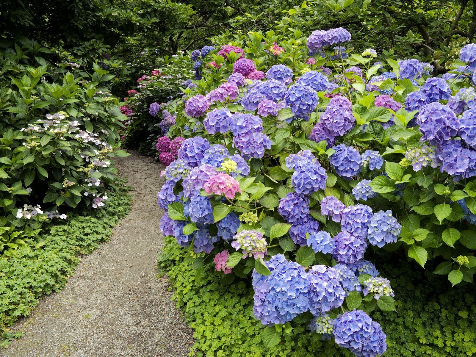 Hydrangeas: When do I prune them? Why didn't they flower?