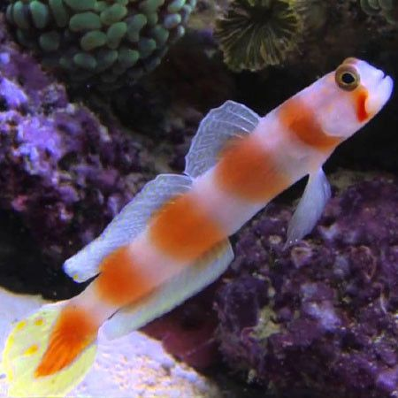 Now Available On Our Store Pinkbar Goby Amb Check It Out Here Http Www Freshnmarine Com Products Pinkbar Goby Utm Campai Fish Pet Reef Tank Marine Tank