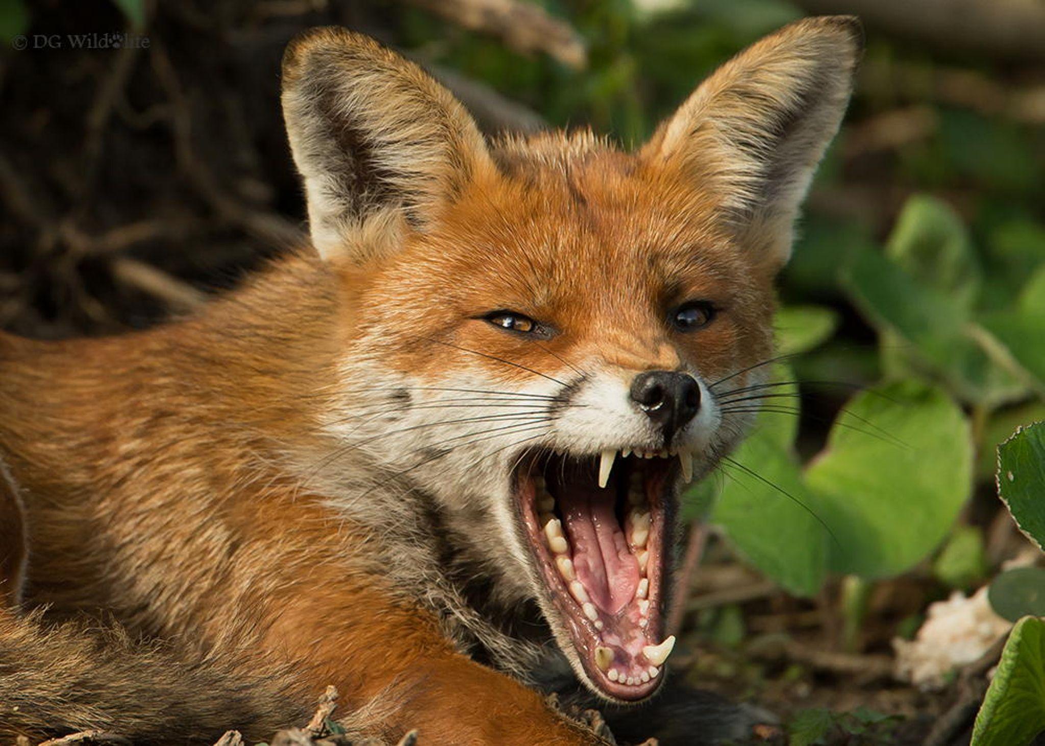 фото злого лиса избавляет проблем печенью