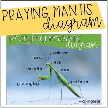 Praying Mantis Diagram Freebie By Lessons In Literacy Teachers Pay Teachers In 2020 Praying Mantis Insect Activities Literacy Teachers
