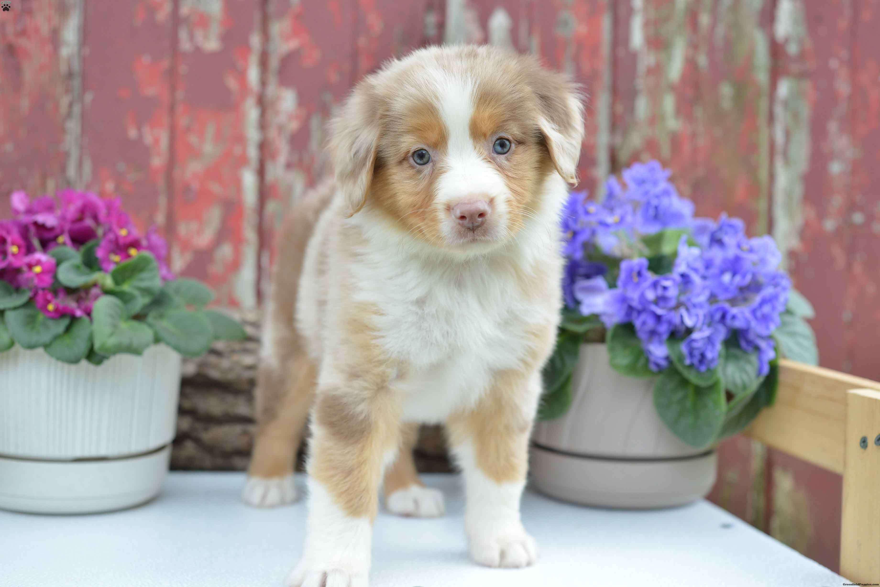 Pam Australian Shepherd Puppy For Sale in Ohio