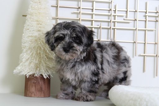 Yorkie Poo Puppy For Sale In Bel Air Md Adn 54676 On Puppyfinder