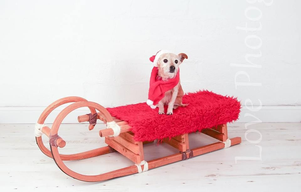 Biskit Who Still Lets Her Mum Dress Her Up Especially At Christmas Time Pet Christmas Pictures Christmas Animals Your Pet