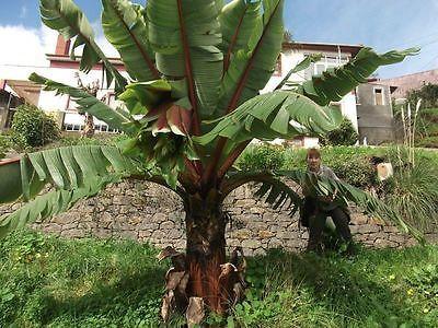 Details zu Musa Nagensium essbare Banane Palme Gehölze für