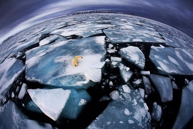 Oso polar en peligro por el deshielo