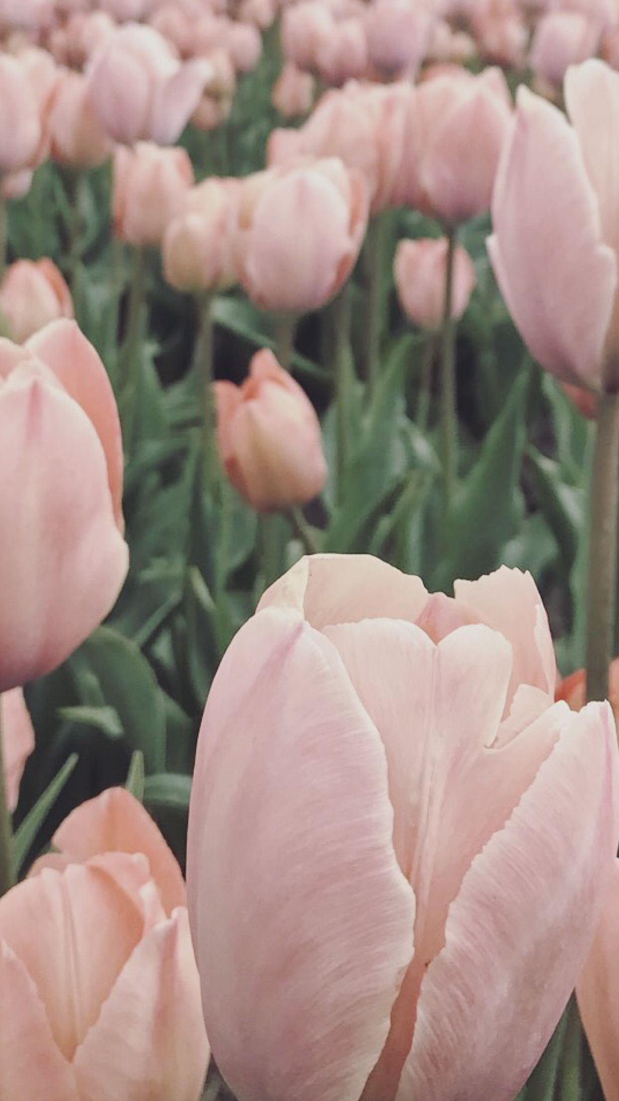 Tulips ★ iPhone wallpaper #springwallpaperiphone