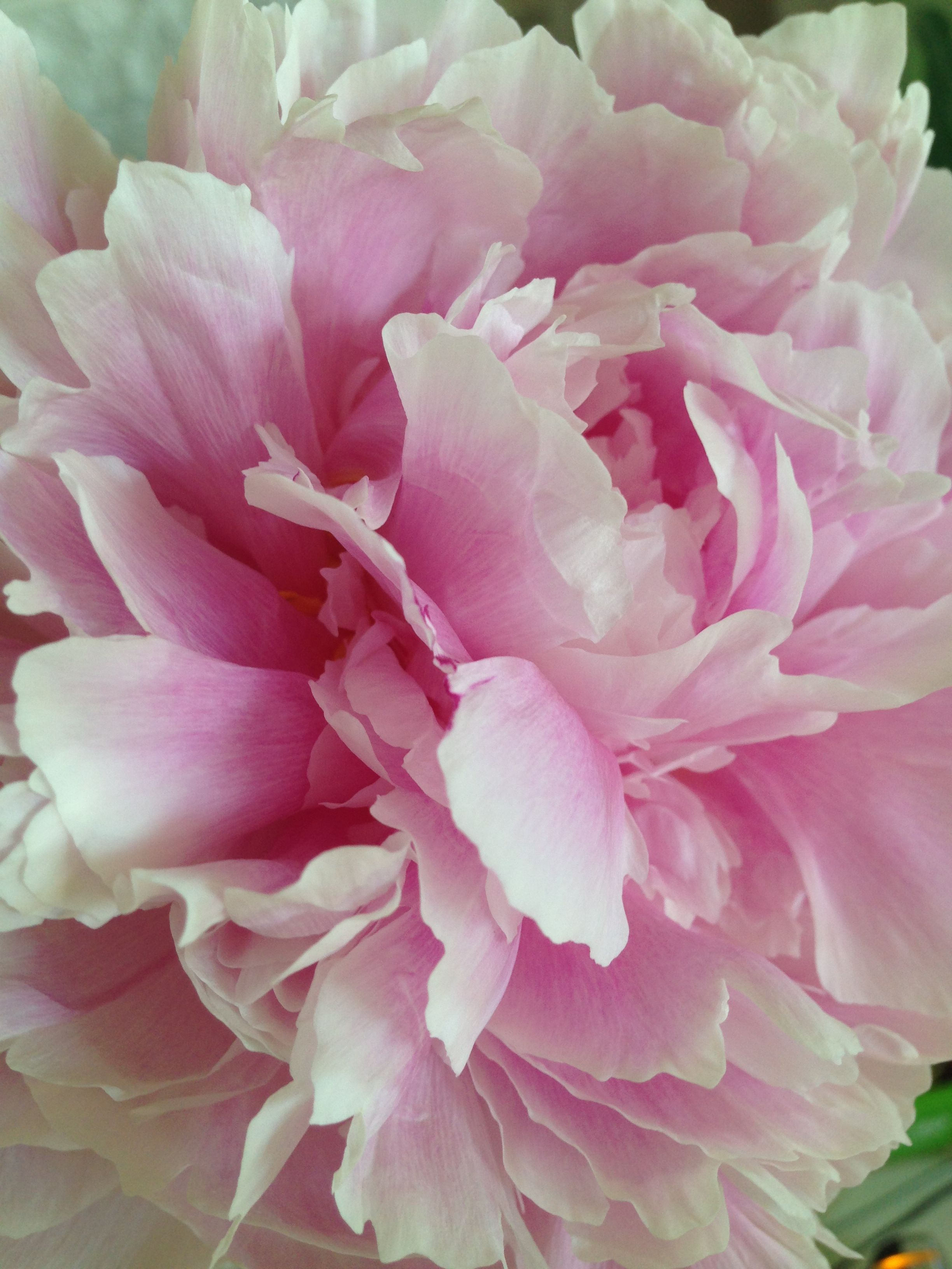 Peonies Almost Looks Fake Its So Beautiful When Its Fully Bloomed