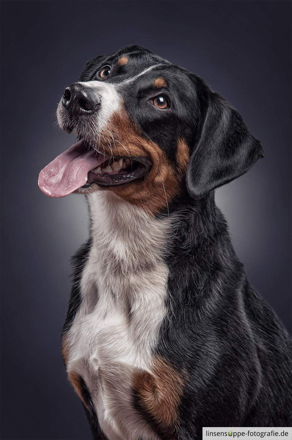 Appenzeller Sennenhundedog Breed Information Popular Pictures Dog Portrait Photography Dog Portraits Dog Paintings
