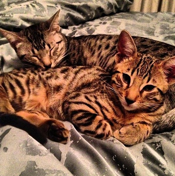 Bamboo and Nylah Serval cats, Cats, Crazy cats