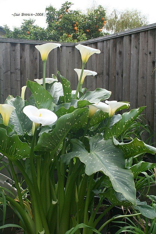 Pictures Of Calla Lilies In Gardens