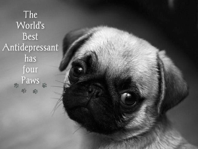 The Worlds Best Antidepressant Lovedogs Cute Pug Puppies Pug
