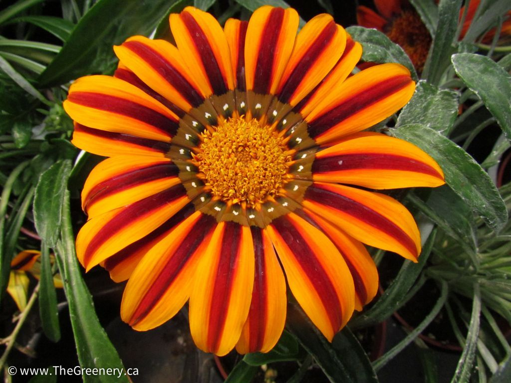 Gazania pla sunbathers tikal annuals pinterest plants growing height spacing those of you who love the bright colourful daisy like flowers of gazanias we have a new series to check out izmirmasajfo