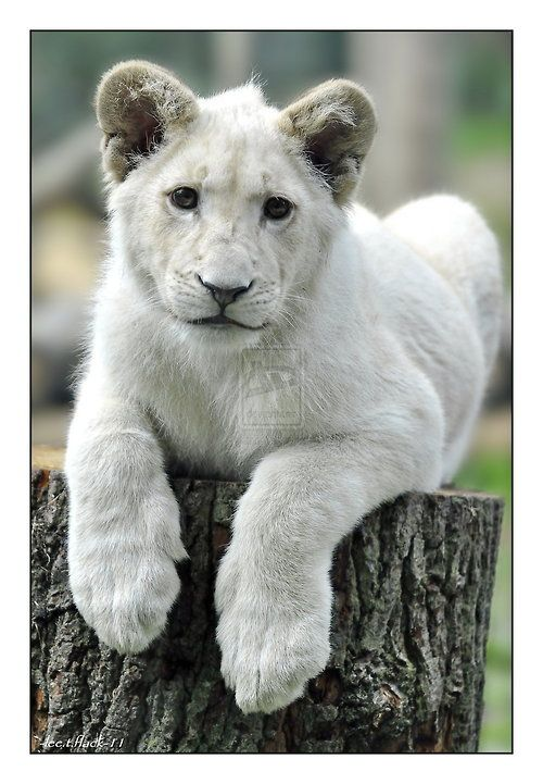 White lion cub .... Such a pretty baby !, | cats ...