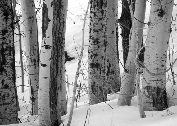Crowd 5x7 black and white photo birch trees by flandersfield via etsy