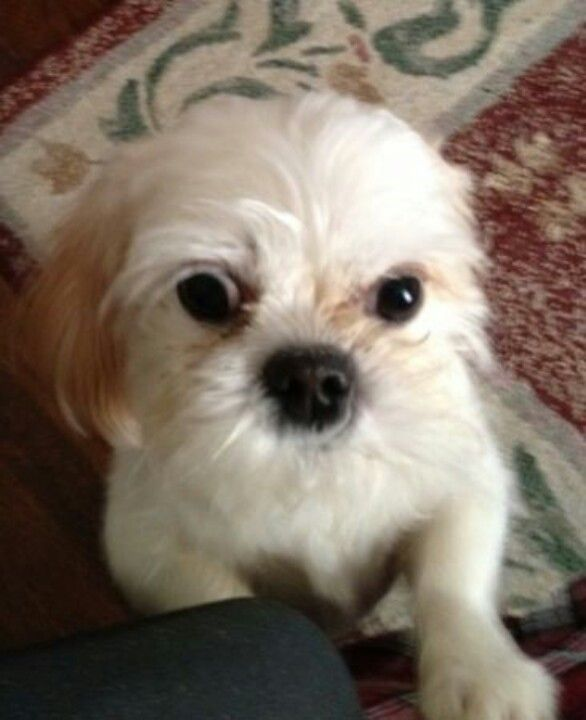 From Craigslist Found Small Shih Tzu Puppy On Thursday February
