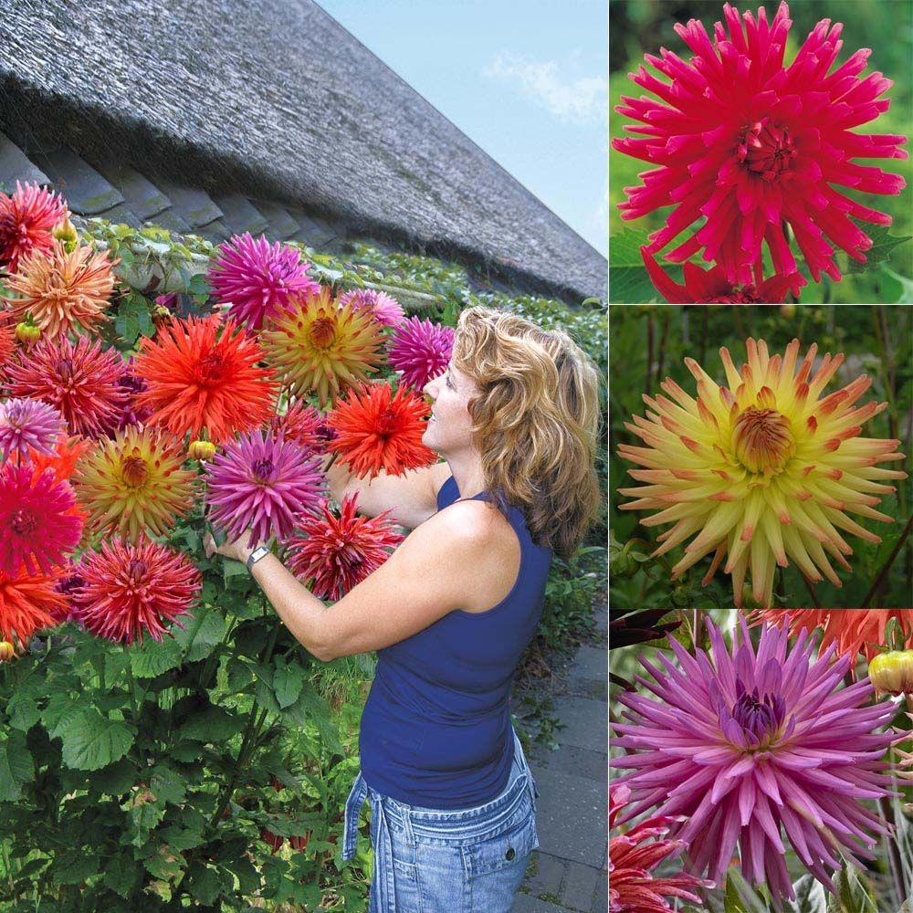 Dahlia Tubers Flowers Flower Bulbs Dahlia Tubers Dahlia Tree Giant Collection Bulb Flowers Dahlia Flower Hanging Garden
