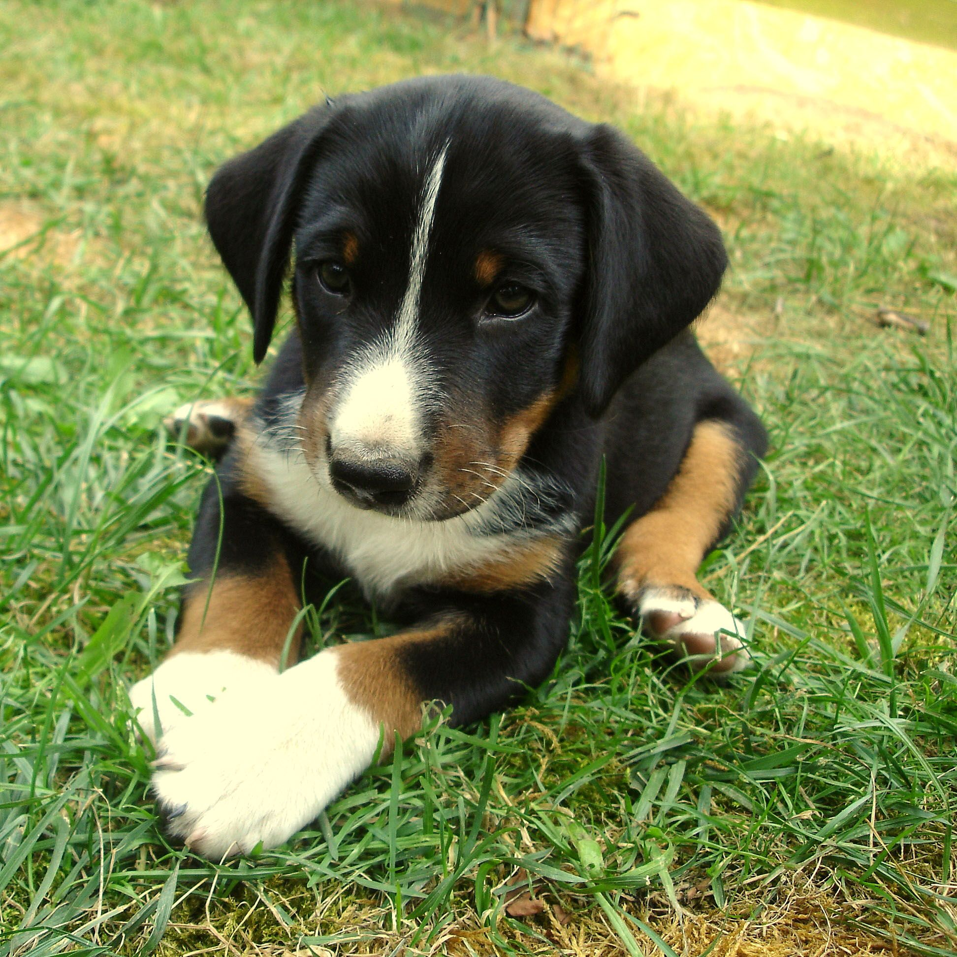 Charming Bernesemountaindog Beautiful Dogs Puppies Dog Pictures
