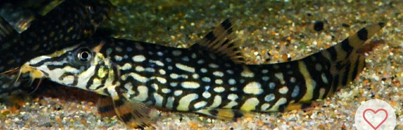 Sergeant Major Loach Fish Fish Pet Lizard