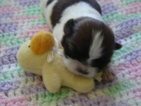 Newborn Baby Girl Ducky Newborn Baby Shih Tzu Puppy Dog