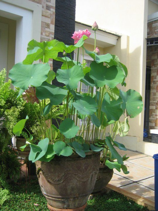 Blue Water Lily The Sacred Flower Tanaman Air Tanaman Menanam
