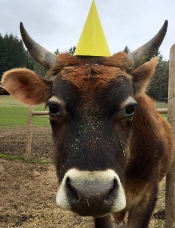 funny cow has a party hat on her head