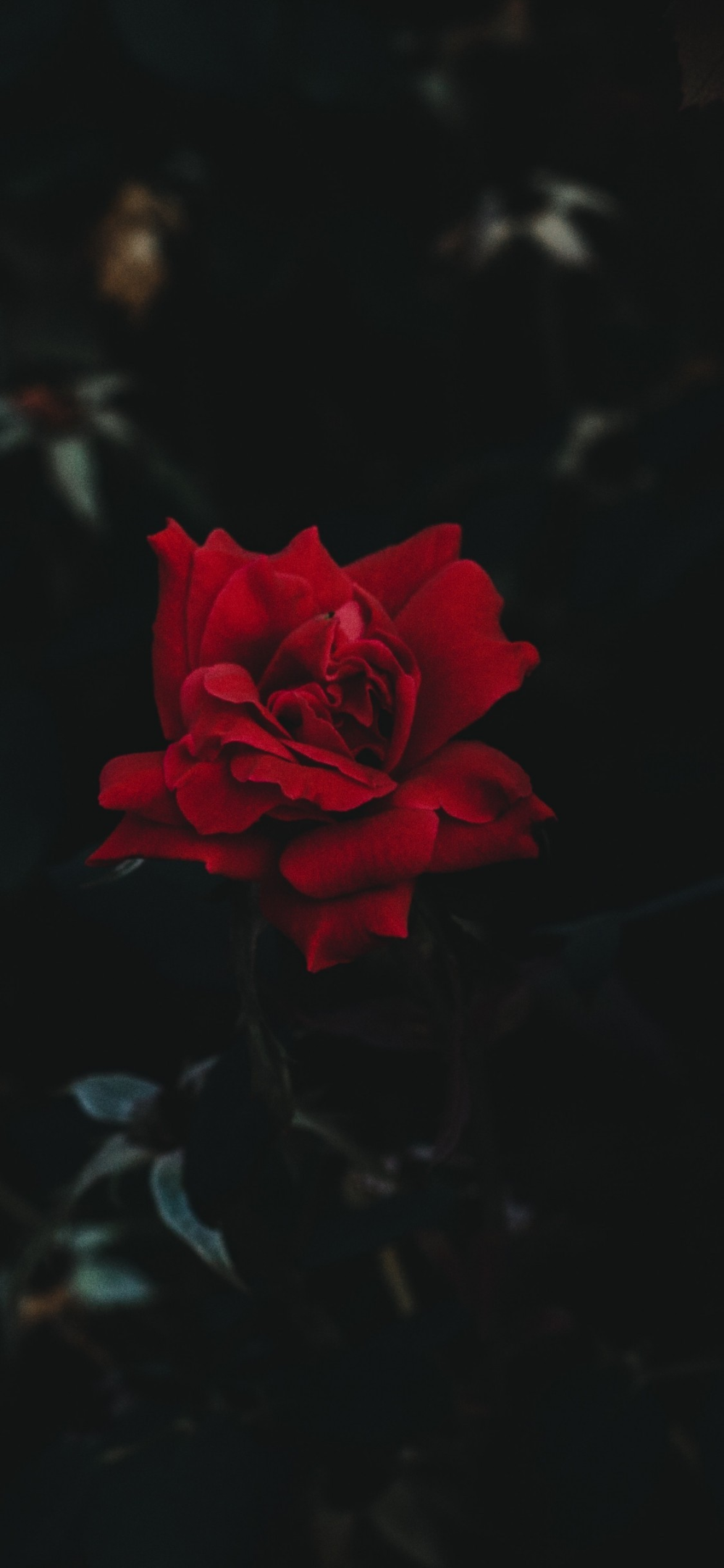 Download Red Rose Wallpaper Hd Backgrounds Download Itl Cat Wallpaper Iphone Roses Red Roses Wallpaper Rose Wallpaper