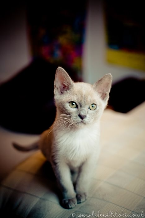 This is Loki, the lilac Burmese kitten Burmese cat