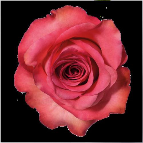 Transparent Tumblr Pesquisa Do Google Imagens De Flores Decoracao Dia Das Maes Rosas